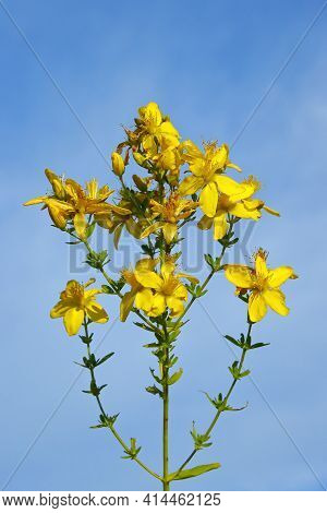 St. Johns Wort On A Blue Background, Used In Medicine As A Homeopathic Medicinal Plant. For Use On P