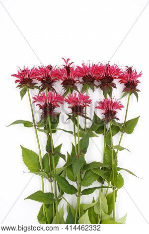 Bergamot Flowers On A White Background, Used As A Flavoring Agent For Tea And As A Medicinal Herb In