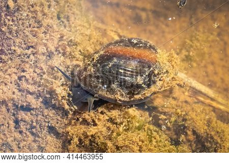 A Bladder Snail (physella Acuta) Feeds On The Algae And Decaying Plant Matter In The Pond Shallow. R