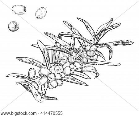 Hand Drawn Sketch Black And White Of Sea Buckthorn, Berry, Leaf. Vector Illustration. Elements In Gr