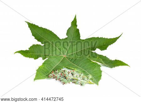 Castor Leaves An Isolated On White Background