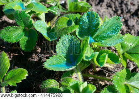 Strawberry bush in fruit farm with drops of blue liquid of Bordeaux mixture against of mildew. Sprin