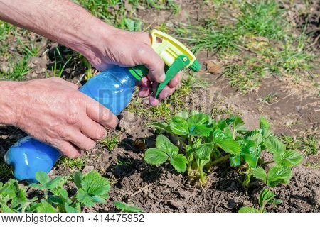Gardener is spraying young green strawberry bushes by Bordo Mix - blue liquid made of copper sulphat