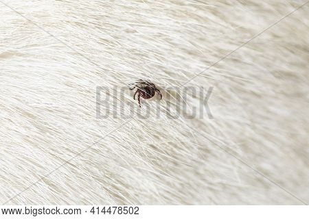 Help Clean Ticks From Dog. Tick-borne Diseases. Ixodes Ricinus.