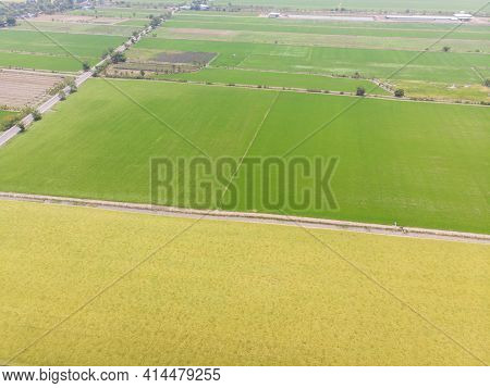 Aerial View Yellow Golden Paddy Rice Field