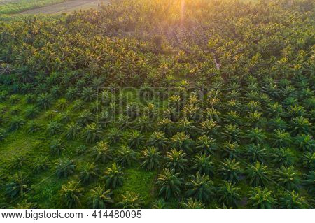 Aerial View Palm Oil Plantation Tree Background