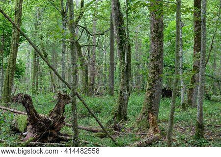 Old Alder Tree And Old Hornbeams