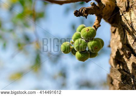 The Cluster Of Unripen Fruits Of Ficus Racemosa Also Commonly Known As Cluster Fig Tree. Used Select