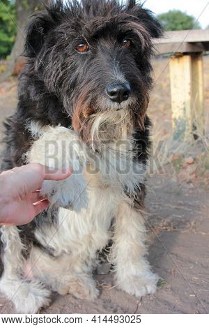 The Dog Gives A Paw To The Human. Say Hello To A Stray Dog by The Paw. Adorable Black And White St