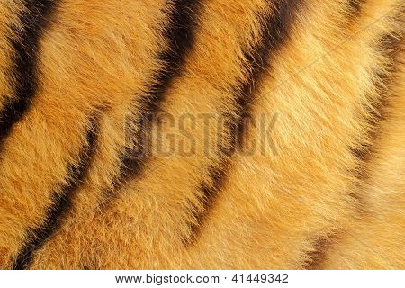 Detail Of Tiger Fur