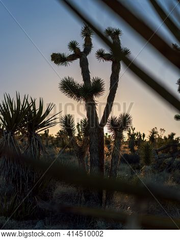 Cactus Trees In Mojave Desert During Golden Sunset In California, Usa