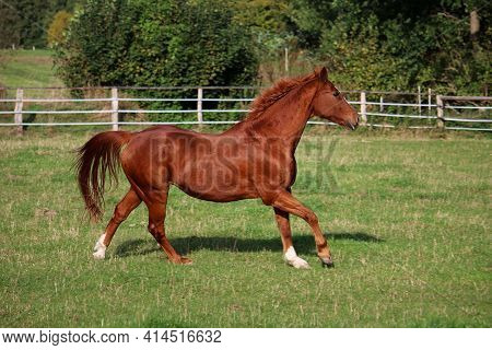Beautiful Brown Horse Is Running On The Paddock
