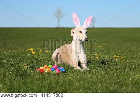 Funny Brown Galgo Is Lying In The Garden With Funny Bunny Ears And Colorful Easter Eggs In The Front