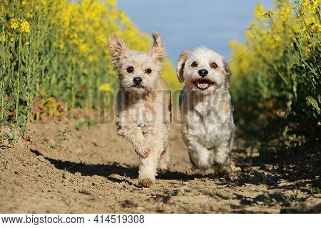 Two Small Dogs Re Running In A Rape Seed Field