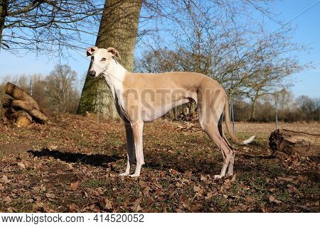 Beautiful Brown Galgo Is Standing In The Forest At A Sunny Day