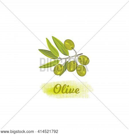 Olive Branch Isolated On White Vector Picture In Vintage Style. Illustration With Woodcut Style Elem