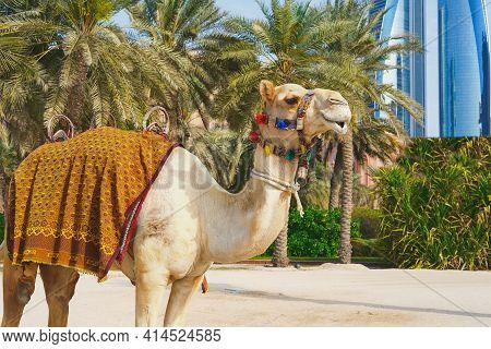 Portrait Of White Purebred Friendly Dromedary, Also Called The Somali Camel Or Arabian Camel Wearing