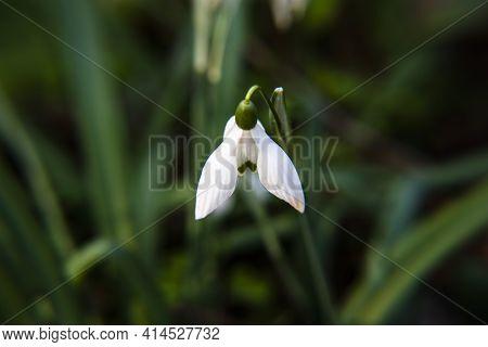 2021_03_13 Galanthus Elwesii Hook