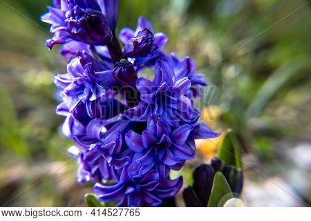 2021_03_13 Hyacinthus Orientalis_1