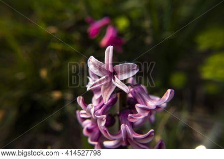 2021_03_13 Hyacinthus Orientalis_4