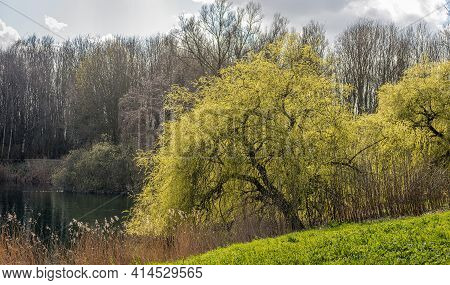 Weeping Willow At The Edge Of The Water Of A Small Dutch Lake In The Beginning Of The Spring Season.
