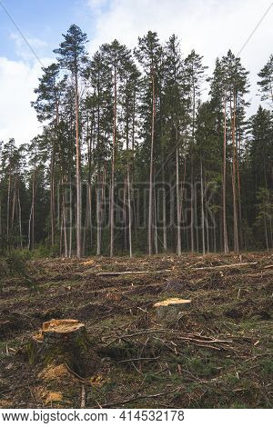 The Area Of Felled Forest. Cutted Trees. Pine Forest Area.
