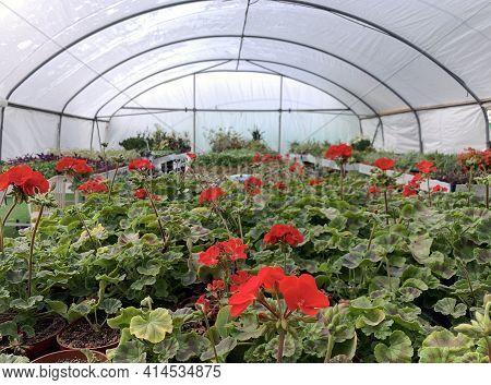Pelargonium (latin Pelargonium) Blooming With Red Flowers In A Greenhouse