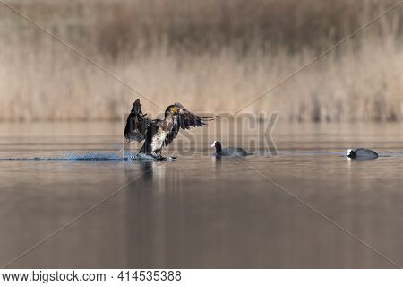 Great Cormorant (phalacrocorax Carbo) Flying And Landing On Water In Spring