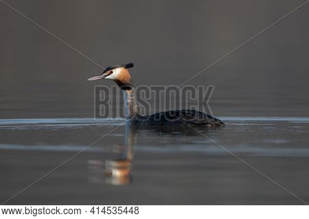 Close Up Portrait Of A Great Crested Grebe (podiceps Cristatus) Swimming On A Blue Lake In A Morning