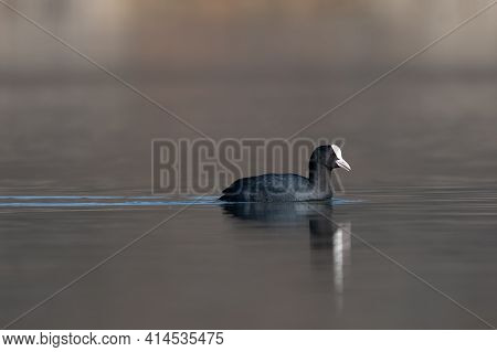 Eurasian Coot (fulica Atra) Swimming In The Lake On A Cold Spring Morning.