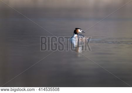 Great Crested Grebe (podiceps Cristatus) Swimming In The Lake On A Cold Spring Morning.