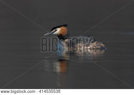 Great Crested Grebe Podiceps Cristatus Swimming On Lake Early Spring Morning Portrait.