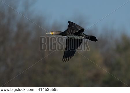 Great Cormorant (phalacrocorax Carbo) Flying In Spring