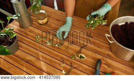 Girl In Gloves Holding Seedlings In Her Hand And Laying Them On The Table. Home Garden Concept. Girl
