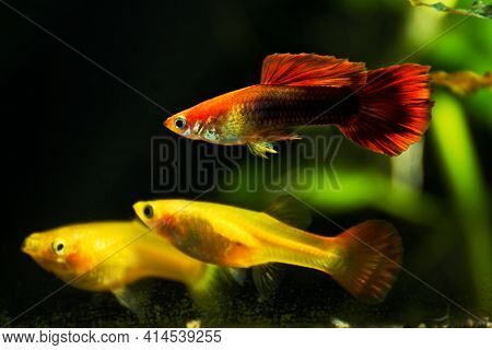 Guppys In Freshwater Aquarium With Green Beautiful Planted Tropical. Fish In Freshwater Aquarium Wit