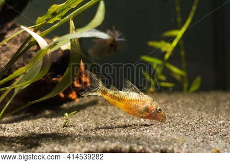 Corydoras In Freshwater Aquarium With Green Beautiful Planted Tropical. Fish In Freshwater Aquarium