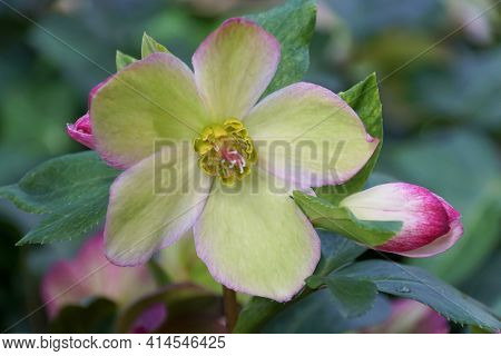 Close Up Of A Lime Green Hellebore Flower At Full Bloom
