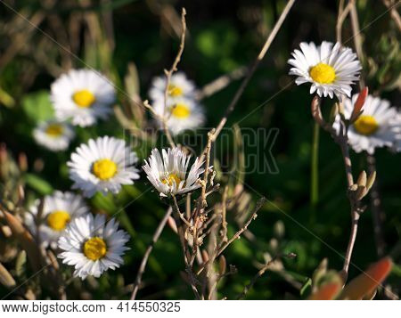 A Selective Focus Shot Of Daisy Flowers In The Garden
