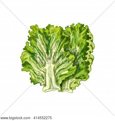 Fresh Whole Head Lettuce. Vector Vintage Hatching Color Illustration. Isolated On White Background.