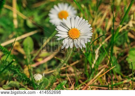 Daisies In The Foreground In Springtime Sunshine. Single Bloom Of Meadow Flower With Green Smooth An