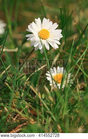 Meadow In Spring. Meadow Flowering Daisies With White Petals And Yellow Pollen. Flowers Between The