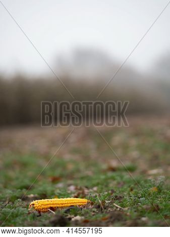 The Lost Ear Of Corn Fell From The Tractor Flatbed After Harvest. A Yellow Ripe Ear Of Corn Protrude