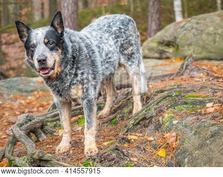 Gray Cattle Dog On A Rock With Roots. A Burly And Healthy Working Breed Dog Observes The Owner's Ord