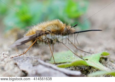 Closeup Of The Odd Parasite , The Dark-edged Bee-fly , Bombyblius Major, With It's Long Nose
