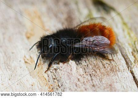 Closeup Of A Fresh Female Of The Horned Orchard Mason Bee , Osmia Cornuta In The Garden