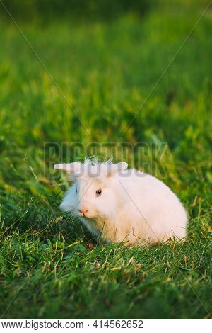 Blue Eyes Lop-eared Dwarf Snow-white Mixed Breed Rabbit Bunny Sitting In Green Grass, Copyspace