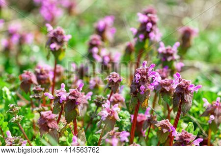 Pink And Blue Tubular Flowers During The Spring Season . Pulmonaria Angustifolia