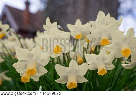 Canterbury, Kent, England - Mar 27 2021: A Cluster Of White And Yellow Daffodils In Full Bloom In Da
