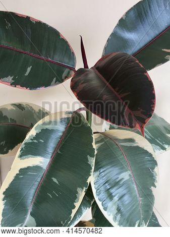 Variegated Rubber Tree Ficus Elastica Colorful Variegated Foliage Plant Closeup