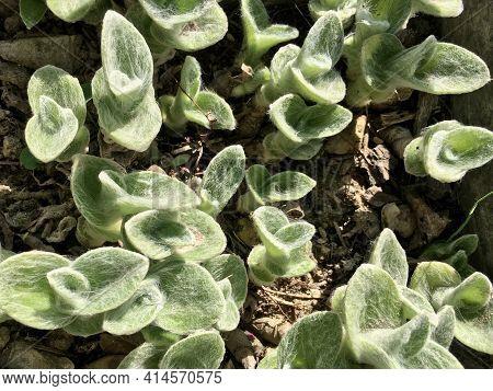 Tradescantia Species, Cobweb Spiderwort, Hairy Wandering Jew, White Gossamer Plant, White Velvet Pla